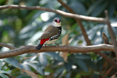 Diamond firetail finch bird Royalty Free Stock Images