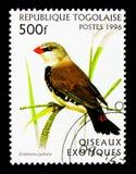 Diamond Firetail (guttata) de Emblema, serie exótico dos pássaros, cerca de 19 imagem de stock
