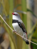Diamond Firetail (guttata de Stagonopleura) Fotografia de Stock Royalty Free
