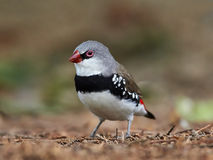 Diamond Firetail (Stagonopleura guttata) Royalty Free Stock Images