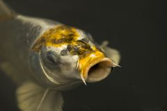 Diamond Koi Royalty Free Stock Photos
