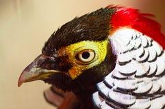 Diamond pheasant Close-up Stock Photos