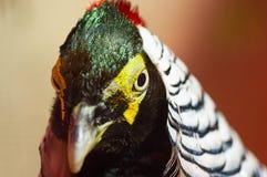 Diamond pheasant Close-up Royalty Free Stock Images