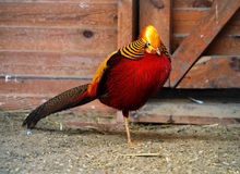 Diamond pheasant red and golden standing at one leg Stock Photos