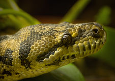 Free Diamond-python Stock Images - 4876604