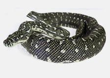 Diamond python Royalty Free Stock Photography
