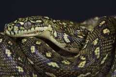 Diamond python / Morelia spilota spilota Royalty Free Stock Photo