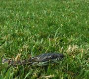 Diamond python slithering through the grass in a backyard of Australia stock photo