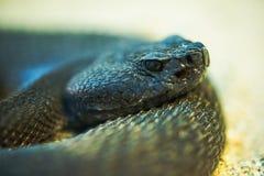 Diamond Rattlesnake rojo Fotos de archivo libres de regalías