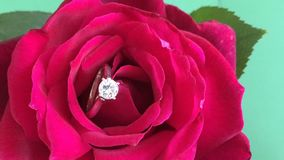 Diamond ring in blossoming out red rose. Time lapse diamond ring in blossoming out red rose stock video footage
