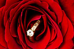 Diamond ring in red rose. A wedding ring in a rose for a marriage proposal Royalty Free Stock Photography