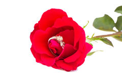 A diamond ring on a red rose. Red rose flower with a gold ring with a diamond Royalty Free Stock Images