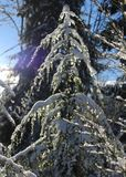A Diamond in the Rough. Ice rain gilds a young evergreen with a diamond like glaze that glints and sparkles as the sun of a clear winter day lights up its Royalty Free Stock Images