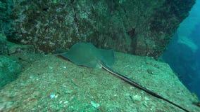 Diamond stingray Dasyatis dipterura in Socorro island from Revillagigedo Archipelago stock video