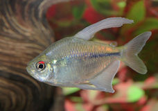 Diamond Tetra Swimming in an Aquarium Stock Photos