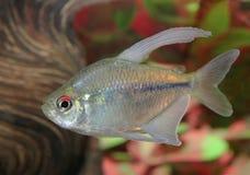 Diamond Tetra Swimming in an Aquarium Stock Photos
