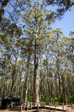 Diamond Tree for climbing near Pemberton. Diamond tree near Pemberton and Manjimup in Western Australia. Used as a fire lookout in the past stock photo