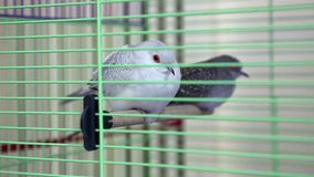 Diamond Turtledove in the cage. Diamond Turtledove birds in green cage stock video