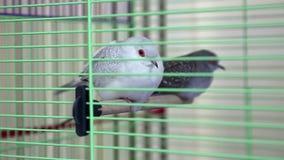 Diamond Turtledove in the cage stock video
