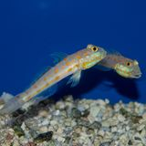 Diamond Watchman Goby. The Diamond Watchman Goby is also commonly referred to as the Pretty Prawn, Maiden, Orange Spotted Diamond, Orange-dashed, or Stock Photos
