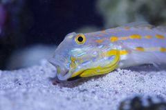 Diamond Watchman Goby with open mouth. On the bottom in the home aquarium Royalty Free Stock Image