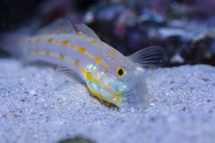 Diamond Watchman Goby sifting sand. In the home aquarium Stock Images