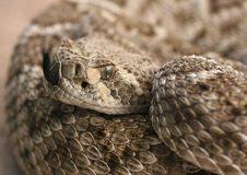Diamondback - 1. Western diamondback Rattlesnake Flicks Tongue to Smell The Air stock image