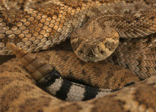 Diamondback - 3. Western Diamondback Rattlesnake In Low Sunlight Showing Head And Rattle royalty free stock images