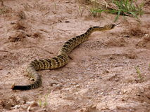 Diamondback Crossing Stock Images