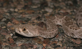 Diamondback head shot. Diamodback rattlesnake headshot and upper body stock photo