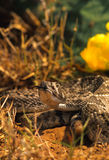 Diamondback Rattlesnake Royalty Free Stock Images