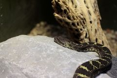 Diamondback Rattlesnake Stock Images