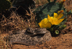 Diamondback Rattlesnake. A diamondback rattlesnake coiled in a blooming cactus Royalty Free Stock Photography