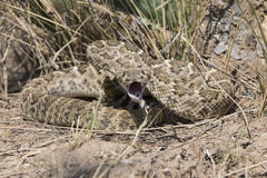 Diamondback Rattlesnake stretching his jaw revealing his fangs Royalty Free Stock Image