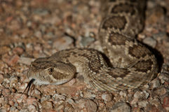 Diamondback Rattlesnake Royalty Free Stock Photo
