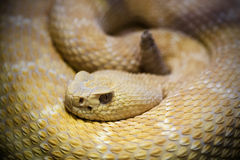 Diamondback rattlesnake Royalty Free Stock Photos