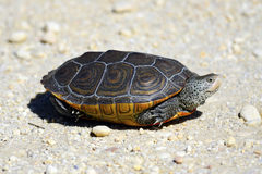 Diamondback Terrapin Stock Image