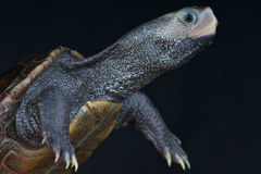 Diamondback terrapin Royalty Free Stock Photos