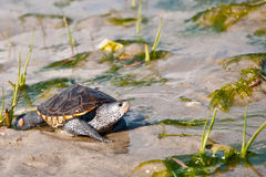 Diamondback Terrapin. A Baby Diamondback Terrapin walking across the salt marsh Stock Photo