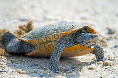 Diamondback Terrapin Laying Eggs. On dirt road Stock Photo