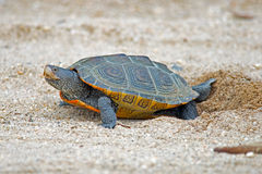 Diamondback Terrapin Laying Eggs Royalty Free Stock Photography