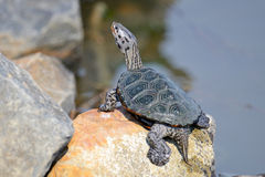Diamondback Terrapin's. A Diamondback Terrapin perched on a rock at waters edge Stock Images