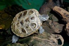 Diamondback terrapin tortoise Royalty Free Stock Photos