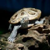 Diamondback terrapin tortoise Stock Photos