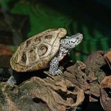 Diamondback terrapin tortoise Royalty Free Stock Photo