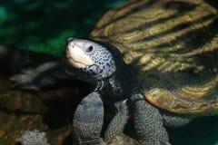 Diamondback terrapin tortoise Stock Image