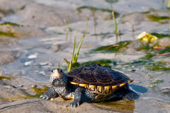 Diamondback Terrapin. A young Diamondback Terrapin in its natural habitat Stock Photography