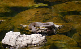 Diamondback Water Snake - Nerodia rhombifer Stock Images