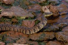 Diamondback watersnake. (Nerodia rhombifer) on shore edge royalty free stock image