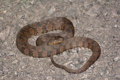 Diamondback Watersnake (Nerodia rhombifer). A water snake that is commonly mistaken for cottonmouths or even rattlesnakes . Totally harmless stock photo